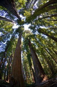 The Stout Grove of redwoods in Jedediah Smith State Park